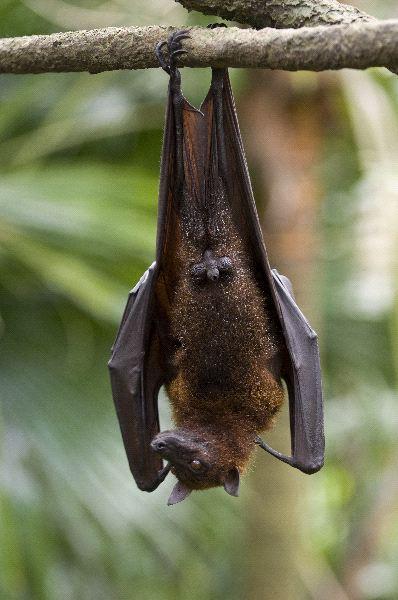 Bats Hanging Upside Down A flying fox hangs upside down