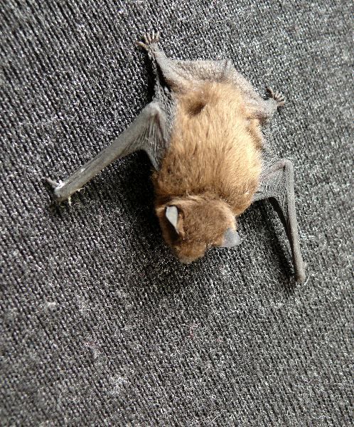 Bat On Cloth