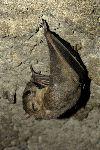 murciélago_con_orejas_pequeñas_150