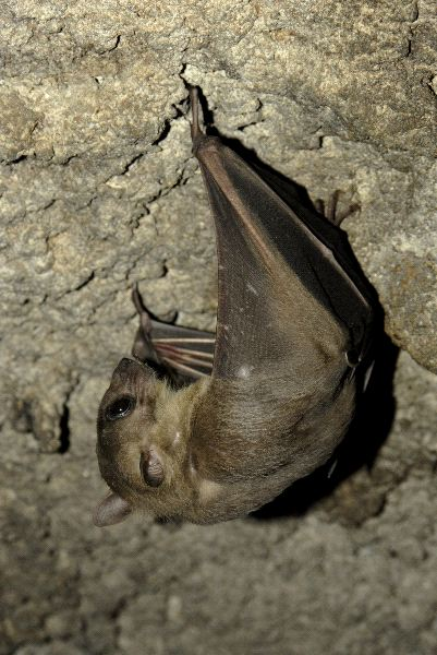 Bat with Very Small Ears