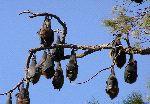 murciélagos_en_un_árbol_150