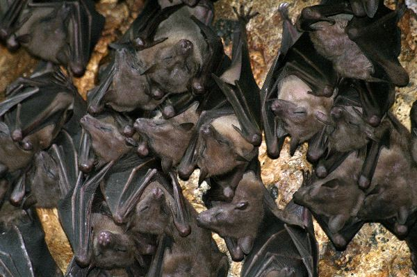 Colony of Bats Inside A Cave