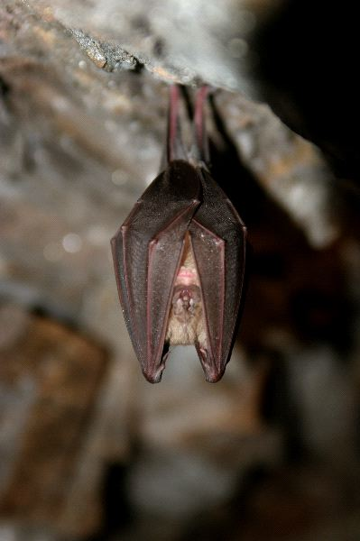 Copper-Winged Bat In Cave