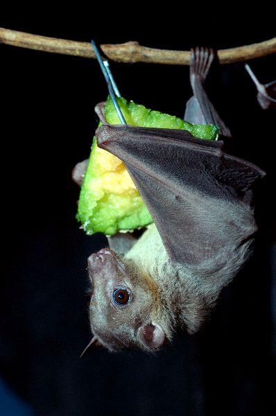 Egyptian Fruit Bat Eating - Rousettus aegyptiacus