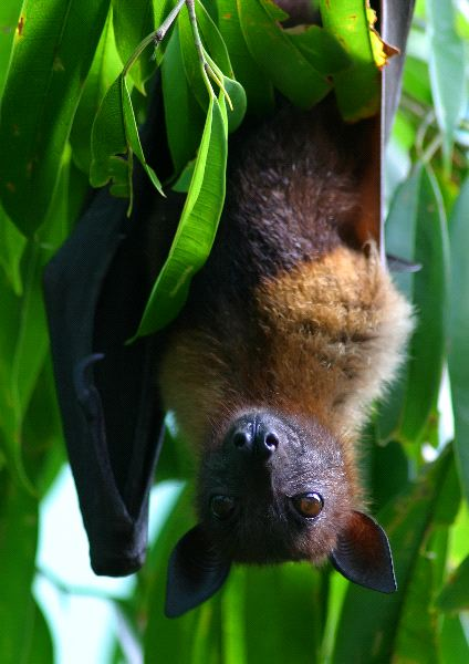 Flying Fox Resting Upside Down