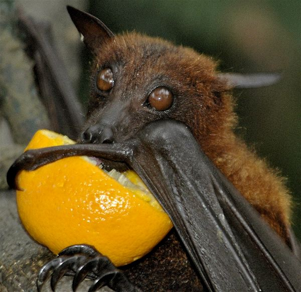 Fruit Bat Drinking Orange Juice