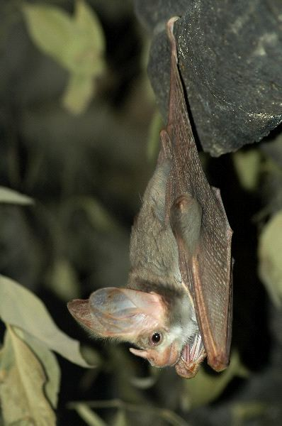 Grey Bat Hanging Down