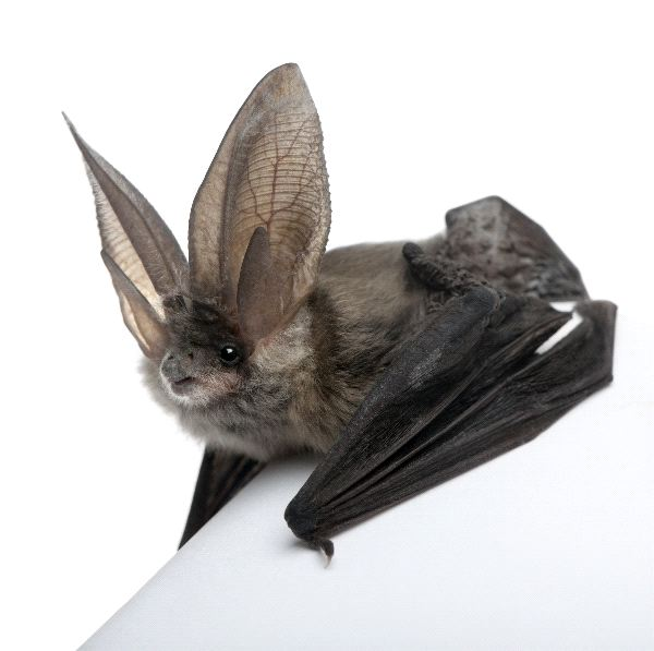 Grey Long-Eared Bat - Plecotus Astriacus