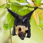 zorro_volador_de_la_India_Pteropus_Giganteus_150