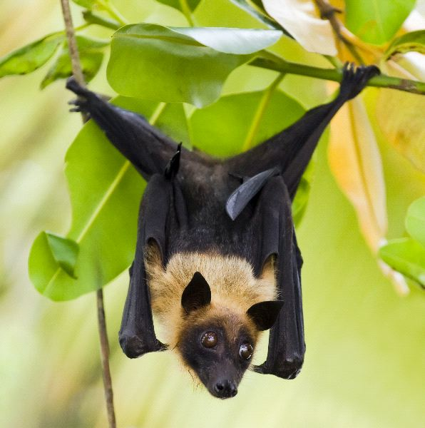 Indian Flying-Fox - Pteropus Giganteus