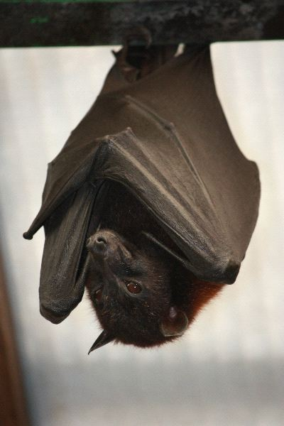 Large Giant Golden Crowned Flying Fox
