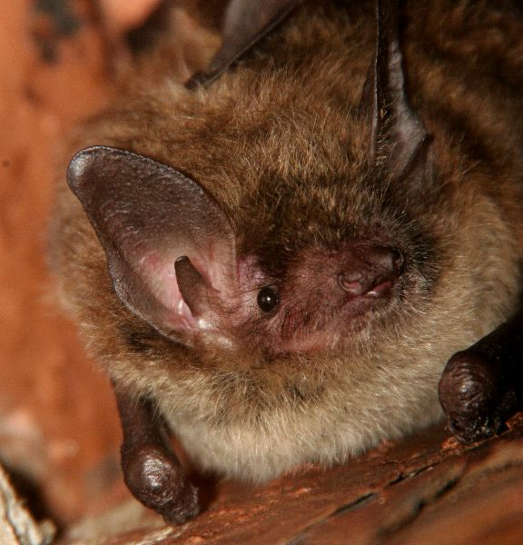 Little Brown Bat Close-Up