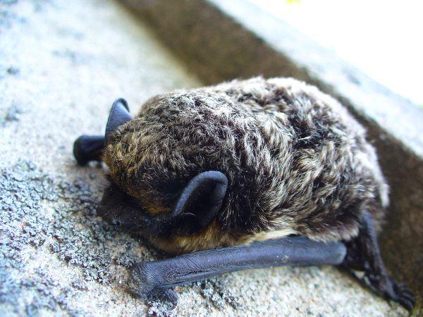Little Brown Bat Sleeping - Myotis lucifugus
