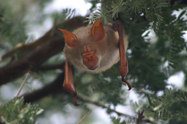 Rare Bat With Big Ears