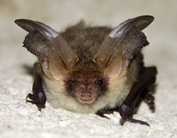 Rare Brown Long-Eared Bat