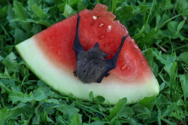 Small Bat Eating A Slice Of Watermelon