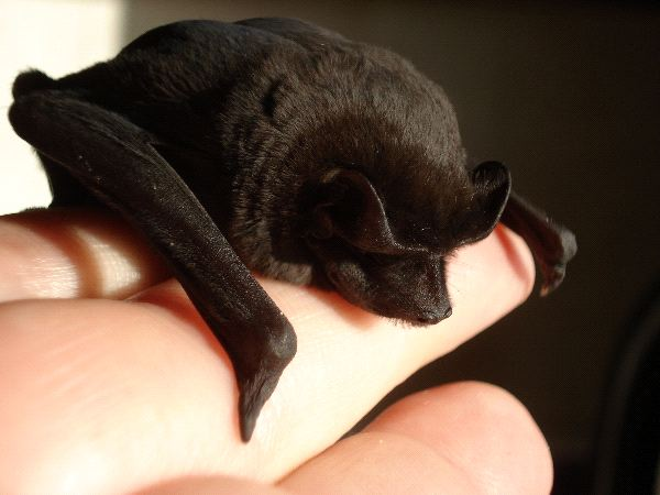 Small Bat on Human Hand