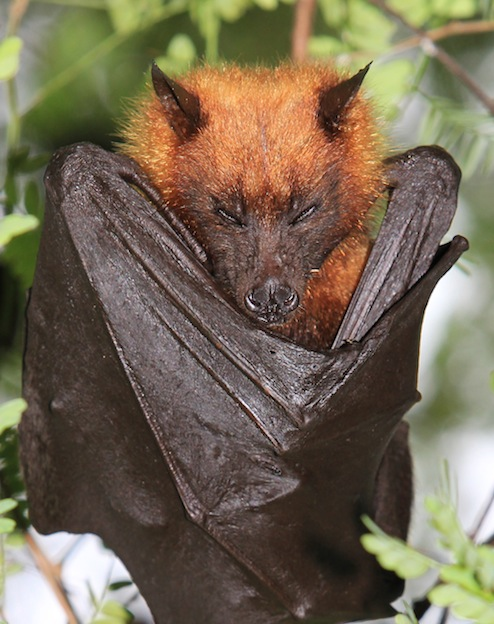 ... Flying-Fox - Bat Facts and Information Golden Crowned Flying Fox Pet
