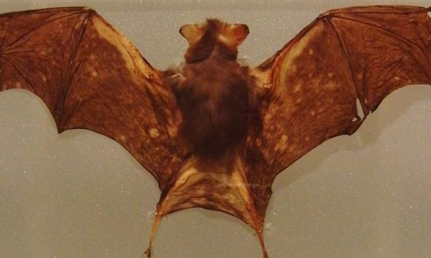 Kitti's Hog-Nosed Bat or Bumblebee Bat