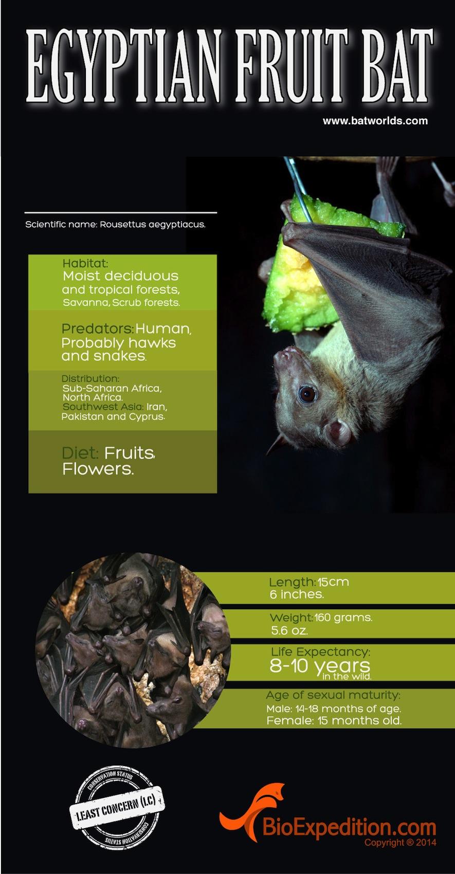 Egyptian_Fruit_bat 1700