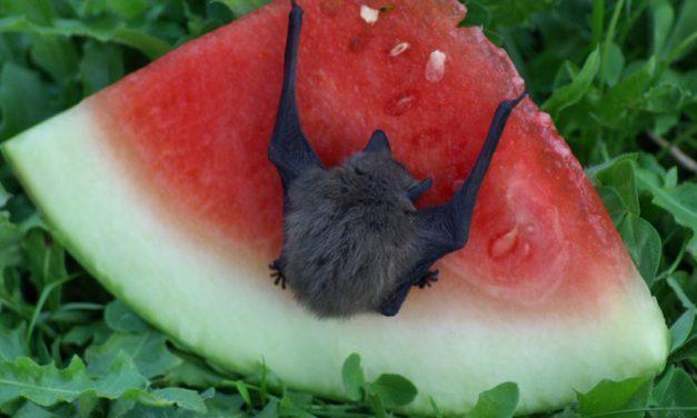 Alimentación de los Murciélagos