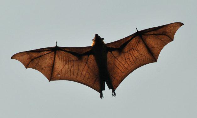 Anatomía de los Murciélagos