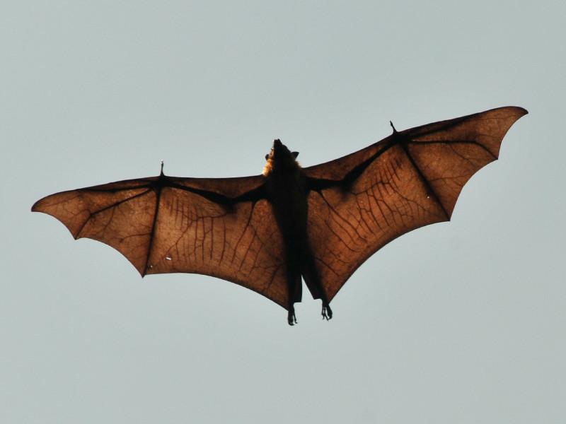Anatomía de los Murciélagos - Murciélagos Información y Características