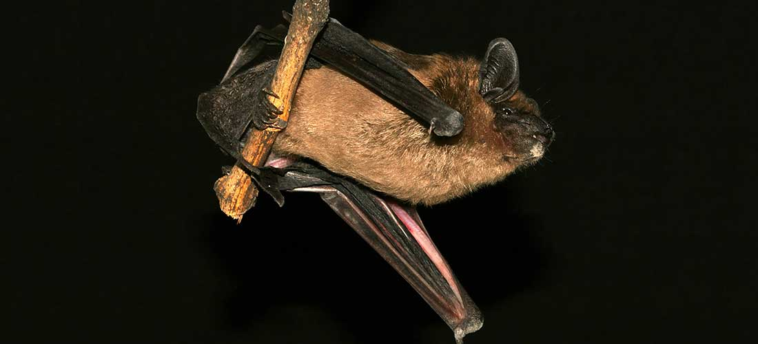 Bat Facts And Information
