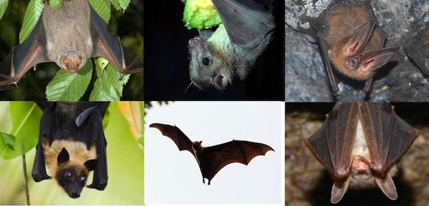 bat_species_624