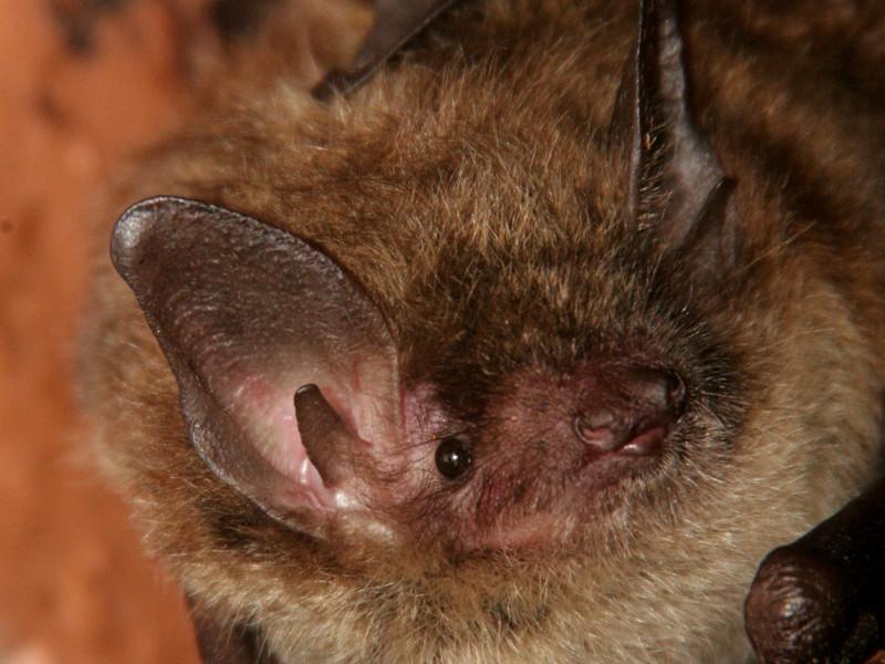 Partes anatómicas de los murciélagos.