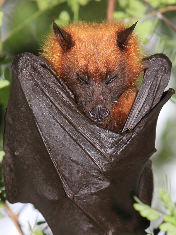 Characteristics of Giant golden-crowned flying fox.