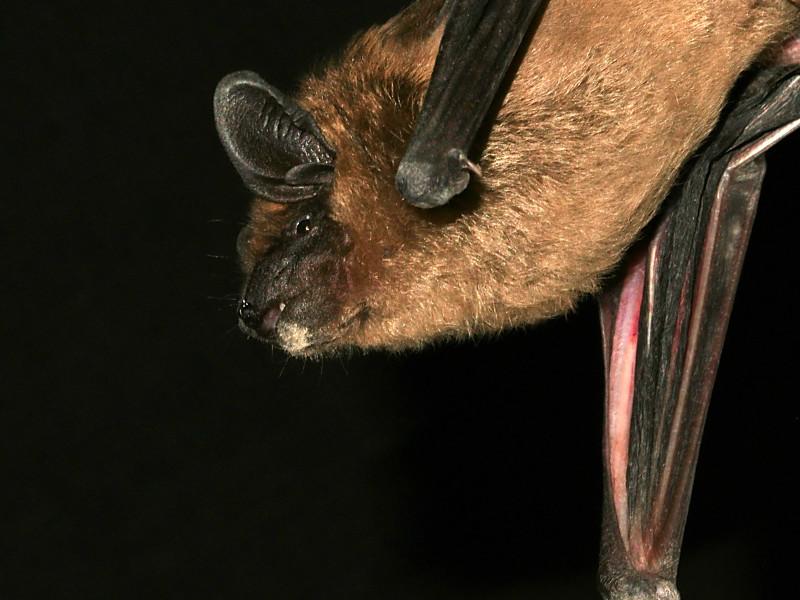 Ecolocalización de los Murciélagos