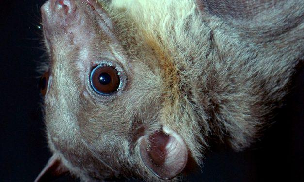 Murciélago Egipcio de la Fruta