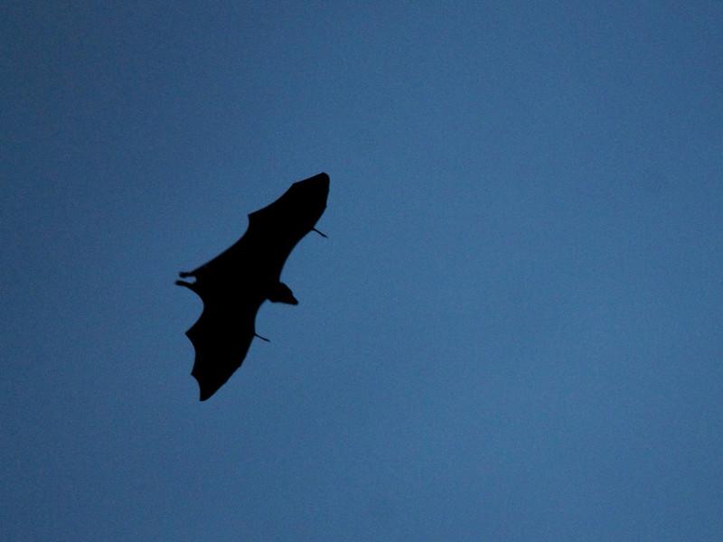 Especies de Murciélago
