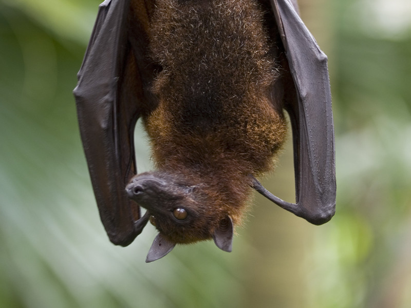 Fruit Bat - Bat Facts and Information on
