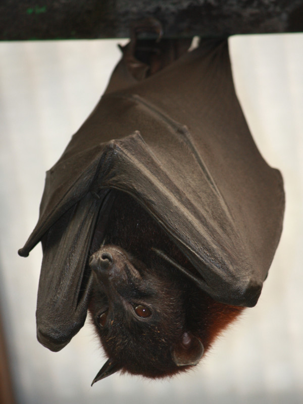 Characteristics of fruit bats.