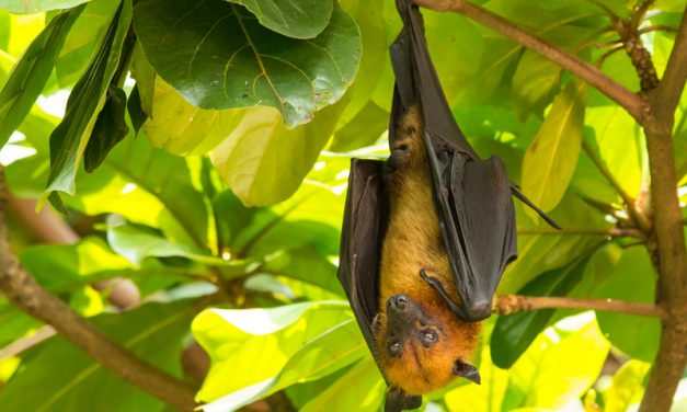 Giant Golden-Crowned Flying-Fox