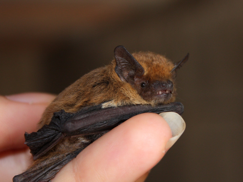 Bats and Humans