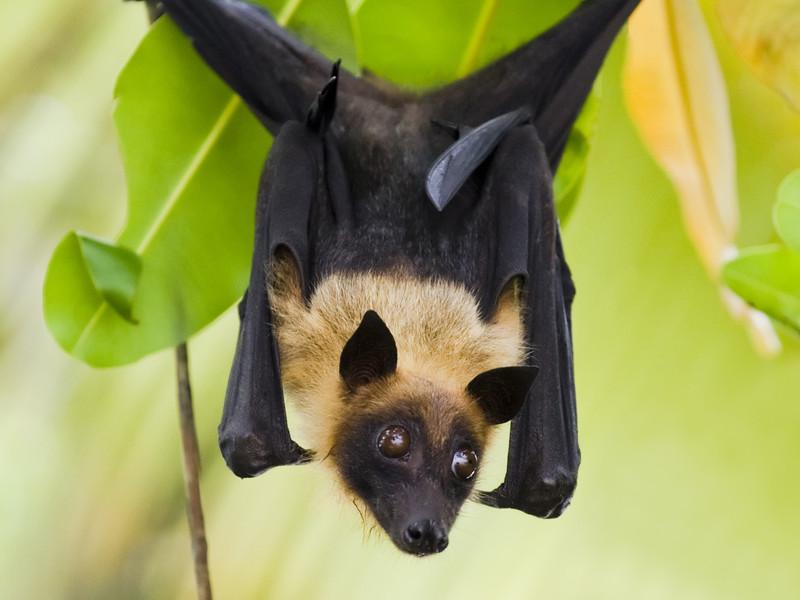 Datos sobre el murciélago de la fruta.