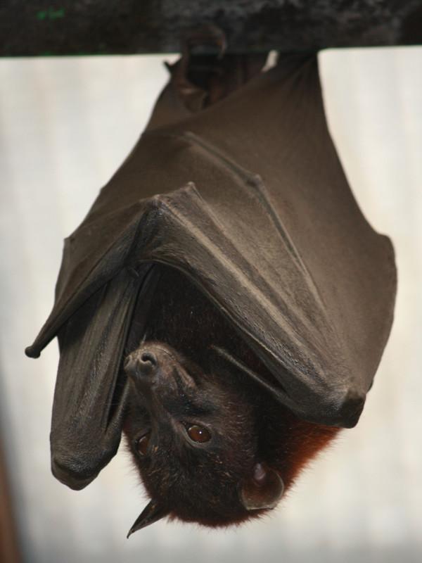 Información sobre el murciélago de la fruta.