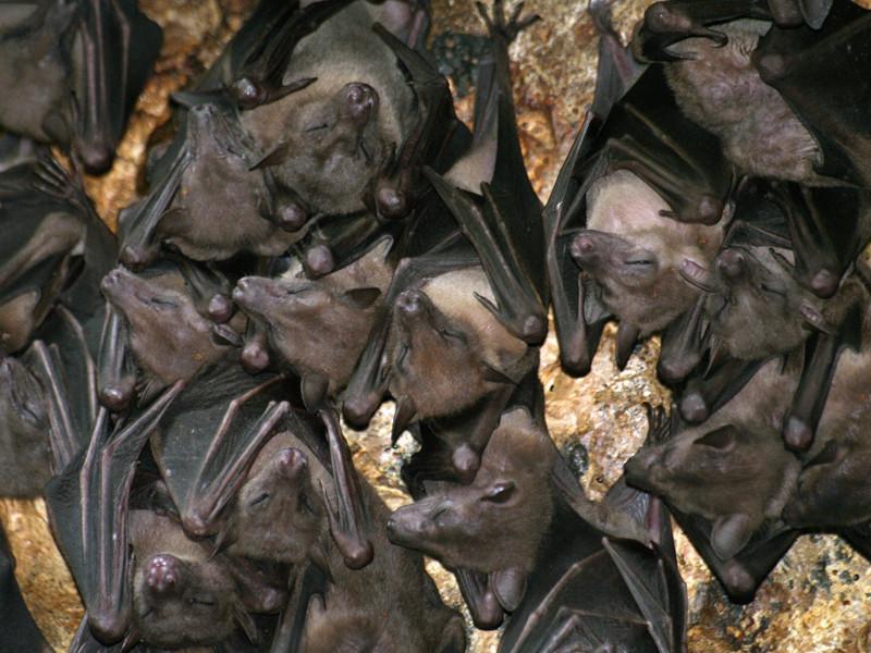 Información sobre el murciélago egipcio de la fruta.