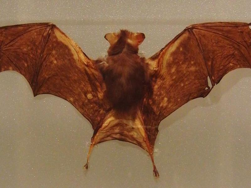Murciélago Nariz de Cerdo de Kitti