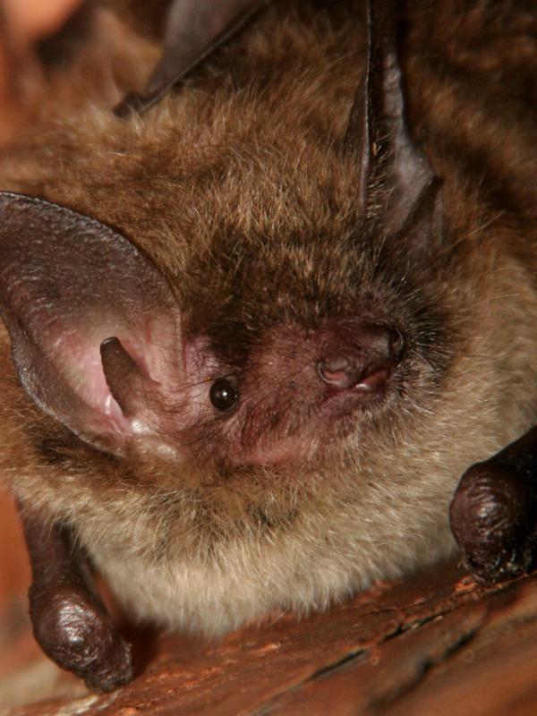 Información sobre el pequeño murciélago café.