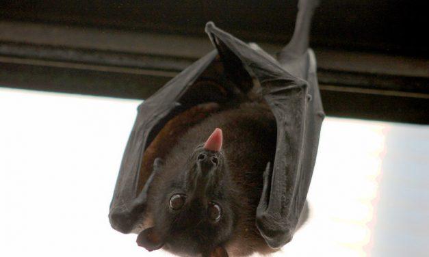 Reproducción de los Murciélagos