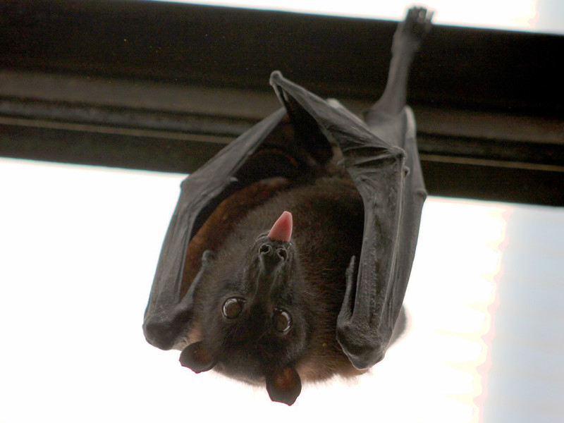Bat Reproduction