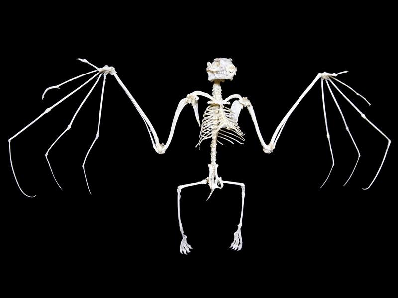 physical characteristics of bats