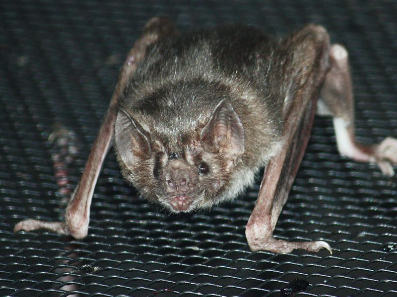 Facts about vampire bat.