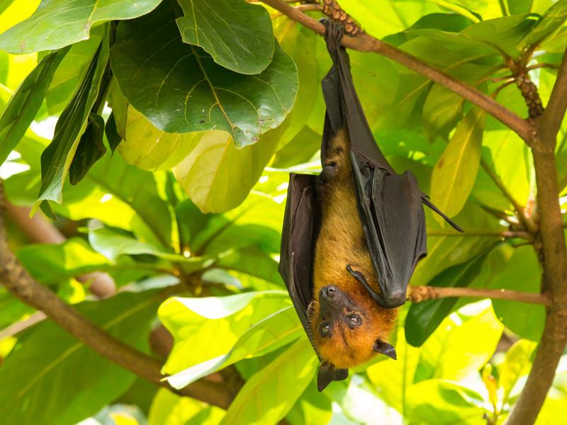 Zorro Volador Filipino